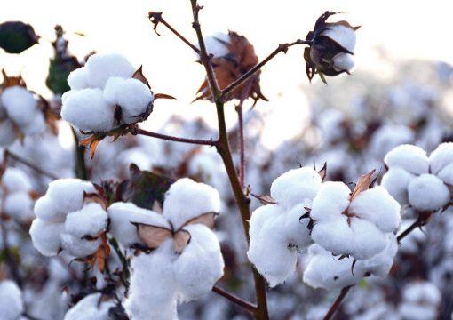 Χρήση προϊόντων Stoller σε καλλιέργεια βαμβακιού με αποτελέσματα αύξησης παραγωγής έως και 30%