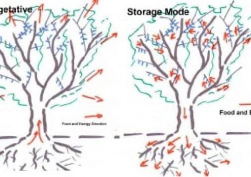 Μετασυλλεκτική Λίπανση – Θρέψη Οπωροφόρων Δέντρων