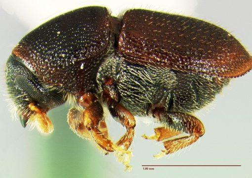 Σκολύτης κερασιάς (Scolytus rugulosus)